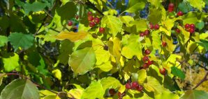 Choke Cherry Tree